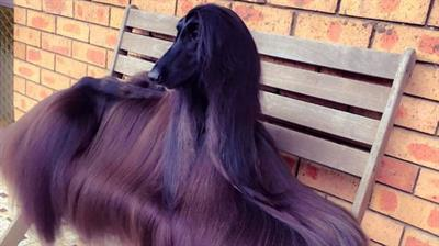 Afghan Hound Dog an Internet Sensation