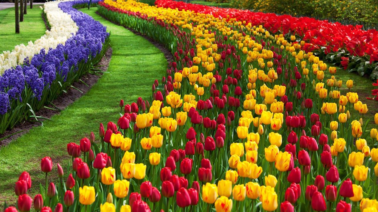 Image result for Srinagar's tulip garden