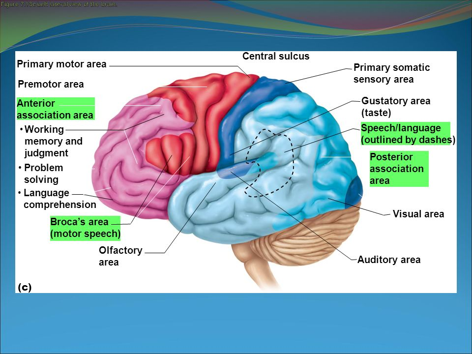 The Working Of Olfactory Memory Of The Brain 1 Min Read
